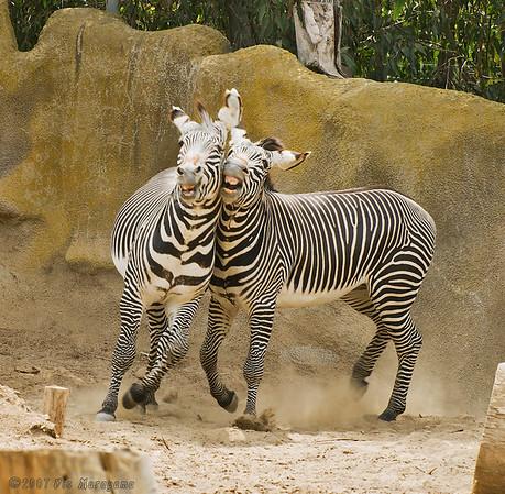 San Diego Zoo's Playful Grevy's Zebras