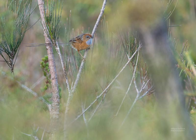 Southern Emu-wren, Vincentia, NSW, Oct 2018-2.jpg