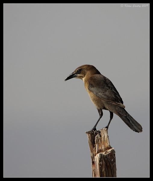 Great-tailed Grackle Female, Salton Sea, Imperial County, California, November 2009