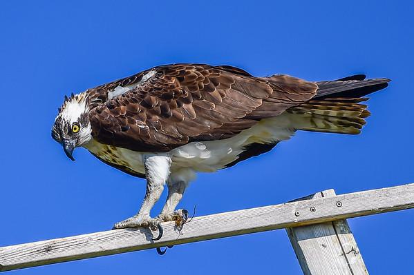 7-22-15 Osprey