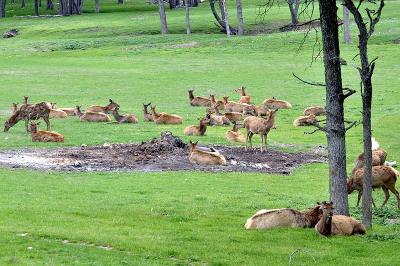 Herd of Deer and Antelope 02.jpg