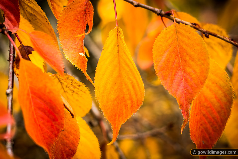 Leaves of the Mt Fuji tree, Pirianda Garden, Dandenongs