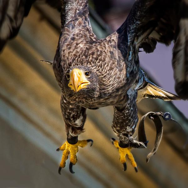 (Haliaeetus albicilla0 White-tailed Eagle