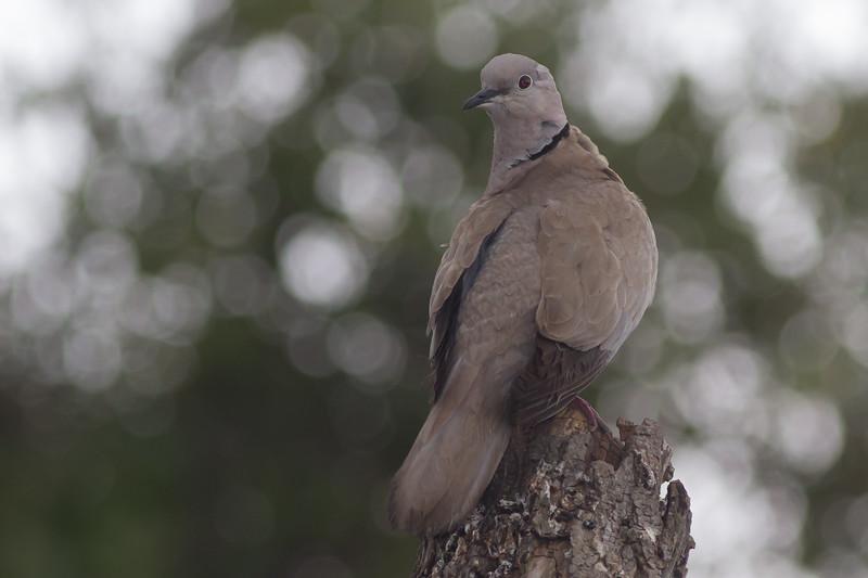 Eurasian Collared Dove - Rock of Gibraltar - Gibraltar