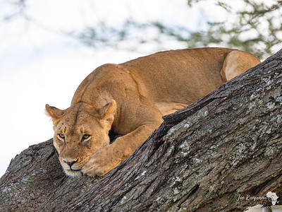 Lioness resting up a tree