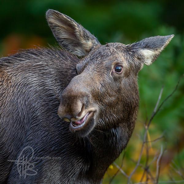 sm moose_M4D5908.jpg