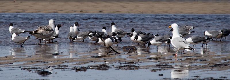The Gull  scene at Bay Shore, Laughing Gulls, Great Black Back and Herring Gulls.