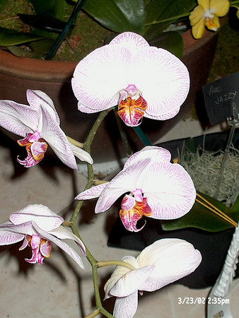 New York Orchid Show 2003