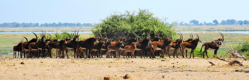 """_D038288 """"Garther 'round"""" -- Sable herd stops after watering on return to interior as they size us up"""