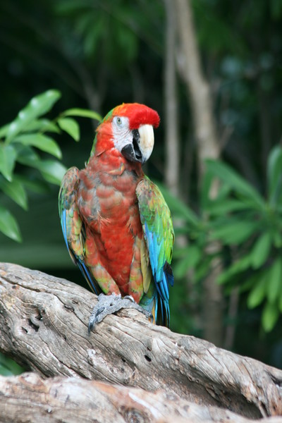 Military or Red & Green Macaw