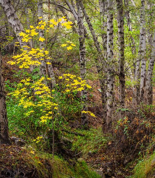 Placerita Canyon Big Leaf Maple Autumn White Alder Trees Pano vert.jpg