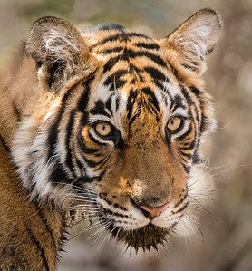 Ranthambore National Park - India 2018