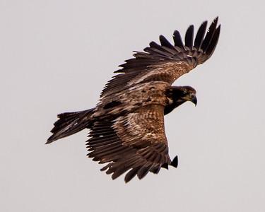 Hunt Bch Central Park Bald Eagle and Friends