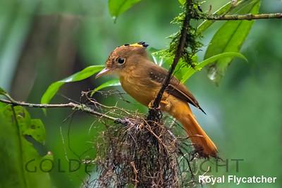 Royal Flycatcher, Trilha dos Tucanos, Brazil