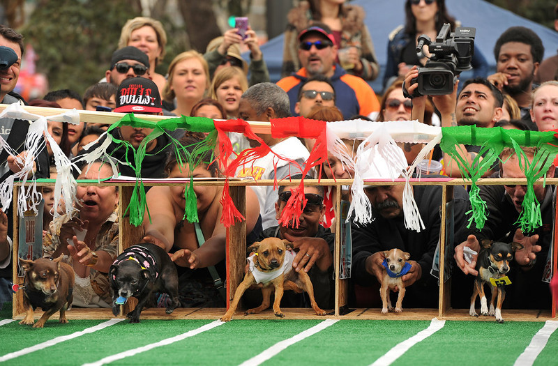 . Owners try to encourage their Chihuahuas  out of the starting gates of the 3rd annual Chihuahua race on a course set up at the Center of the Park on May 5th, 2013.  The top prize for this year\'s winner was $500. Most of the dogs seem perplexed by all the attention and ran back towards the starting gates rather than the finish line.  The annual Cinco de Mayo celebration took place at Civic Center Park on May 5th, 2103 in Denver, CO.  Highlights this year were local traditional dancing, a taco eating contest , local bands playing traditional mexican music and Chihuahua dog racing where 132 dogs raced for the top prize of $500.(Photo by Helen H. Richardson/The Denver Post)