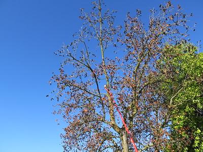 Alder Tree Removal 2015