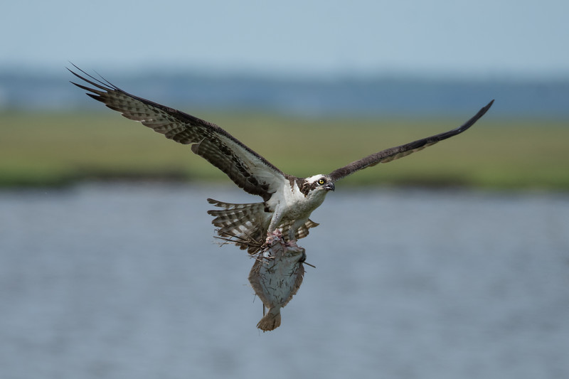 Osprey_DSC1078-Edit.jpg
