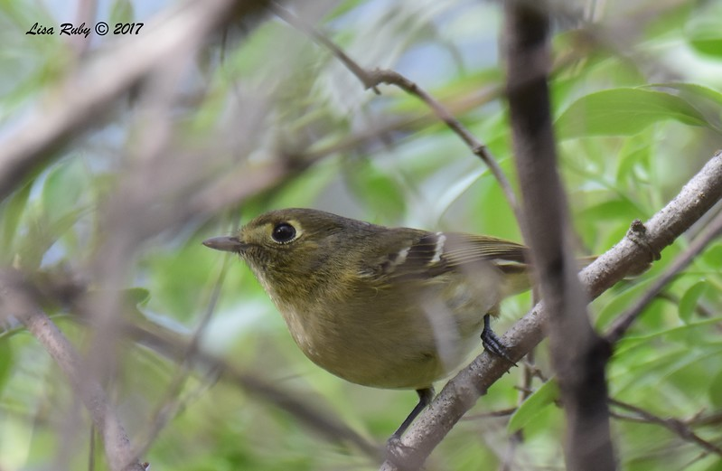 Hutton's Vireo - 1/15/2017 - Bird and Butterfly Garden