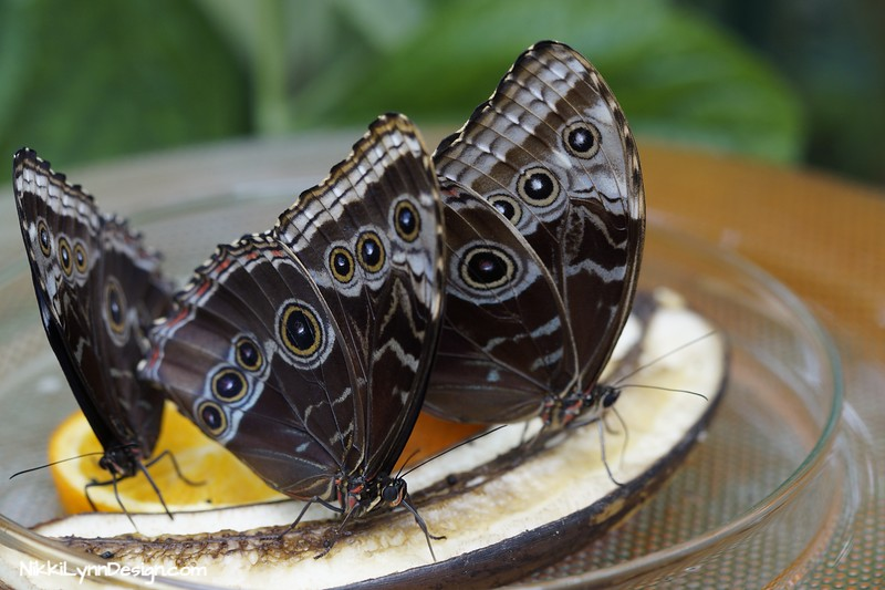Owl Butterflies on oranges and bananas.