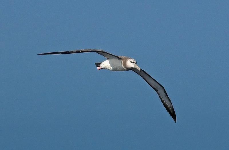 A juvenile Shy Albatross (diomeda cauta) off Wollongong (NSW, Australia), October 2006  SOSSA: IMGP2143-02
