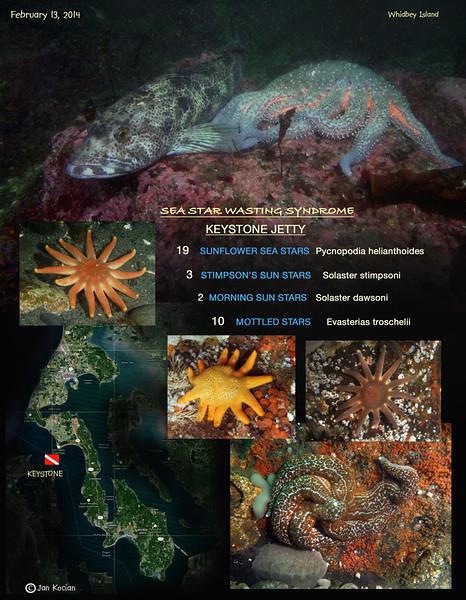 Sea Star Wasting Survey, Keystone Jetty, Whidbey Island, February 13, 2014