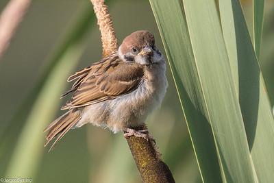 Sparrows - Spurve