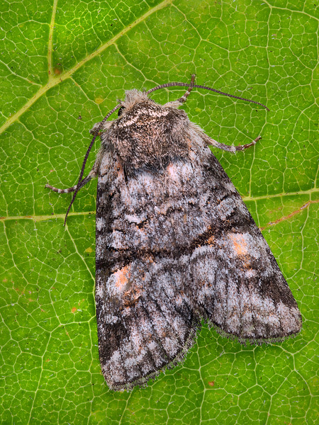 Straight-banded Sallow Moth