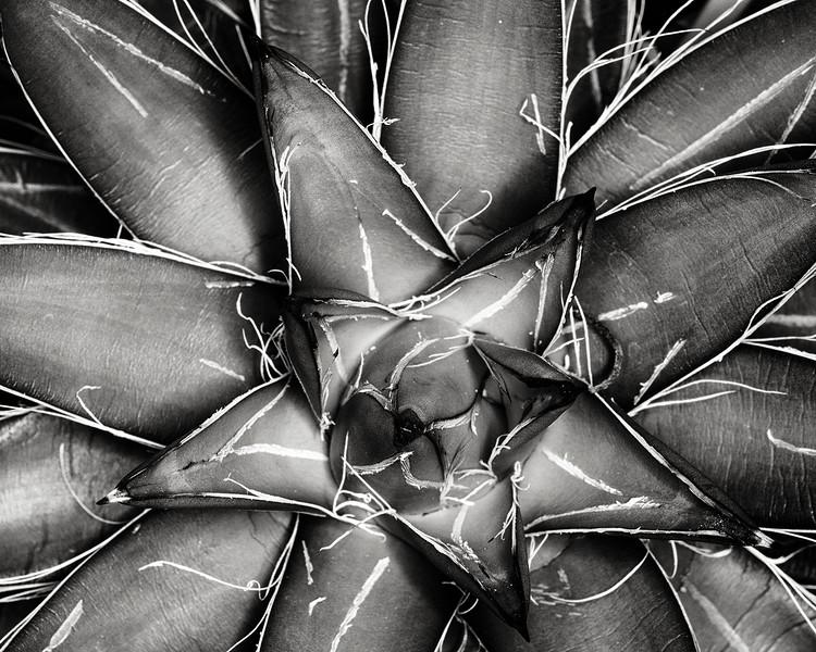 agave filifera var compacta