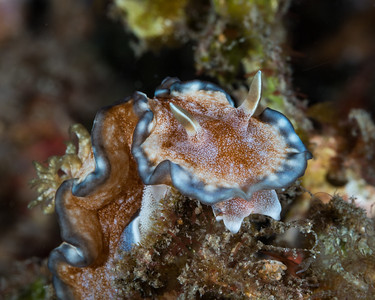 Glossodoris sp. 10