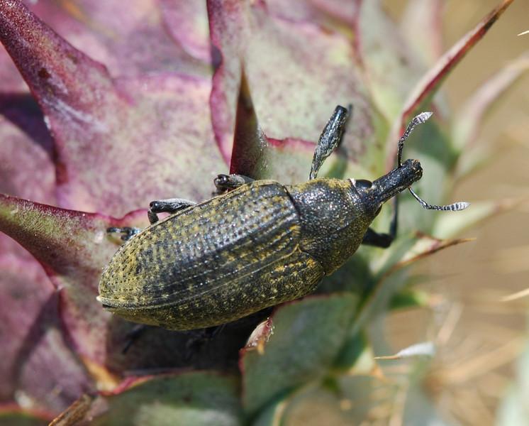 Weevil, AK Sardinia 2010