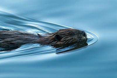 Beavers on the Ottawa River