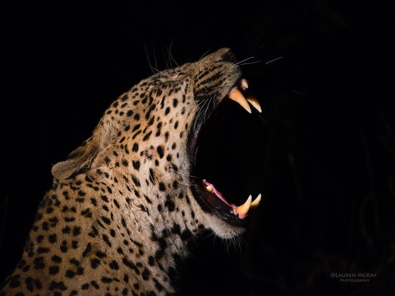Leopard (Tingana), Sabi Sands (EP), SA, Sept 2015-2.jpg