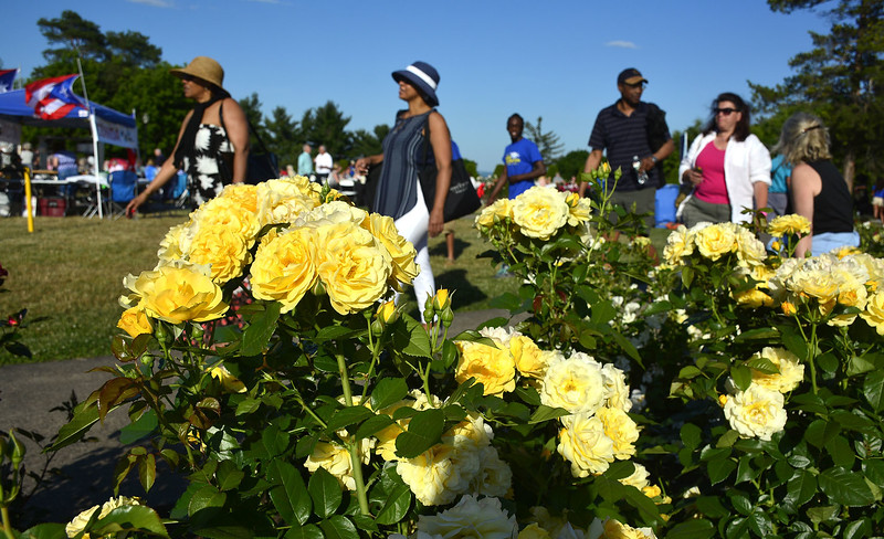 6/18/2016 Mike Orazzi | Staff Blooming roses during the New Britain Rose Garden Festival in Walnut Hill Park on Saturday evening.