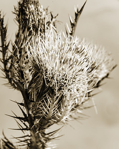 Thistle Wild flower in Black and White set 2128