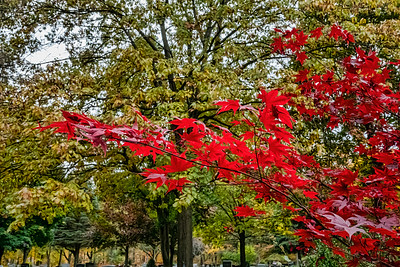 Maples in fall, Asian, Japanese and Korean