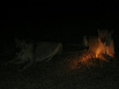 Lions & Leopards