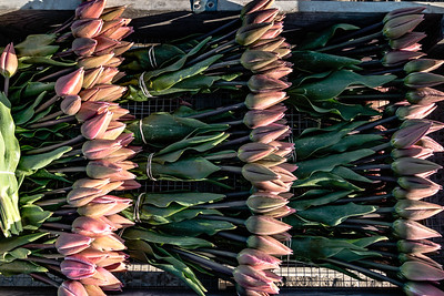 2018 Skagit Valley Tulips pt. 1