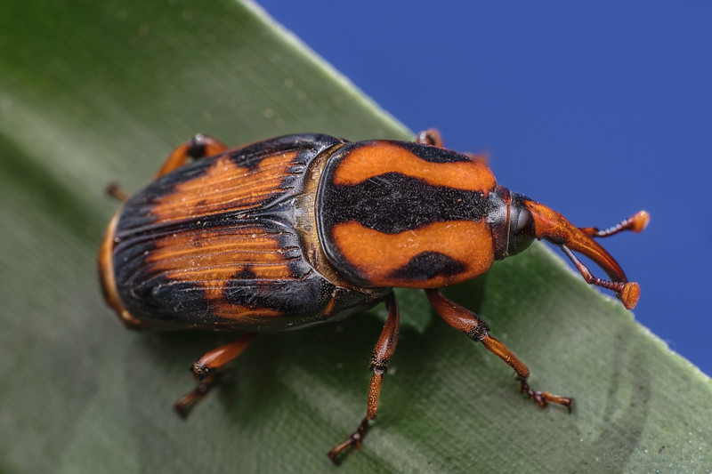Palmetto weevil