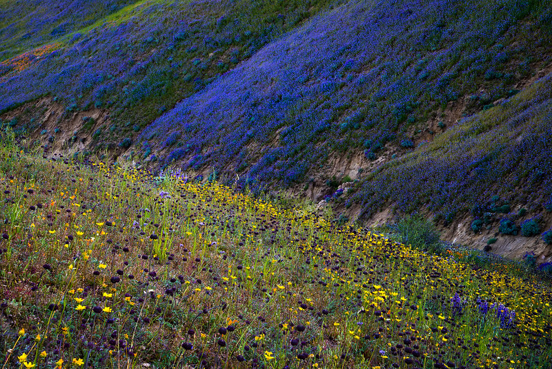 Sierra_Pelona_Mountains_Wildflowers_DSC6192.jpg