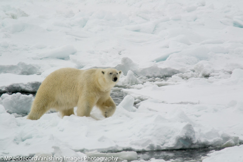 Ice Bear In pack ice inspecting our ship, at 900mm uncropped