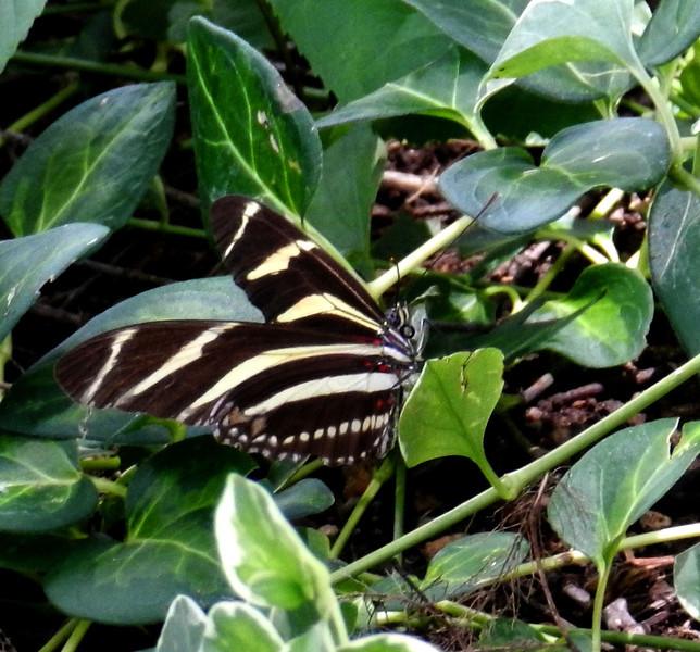 Zebra Heliconian3.jpg
