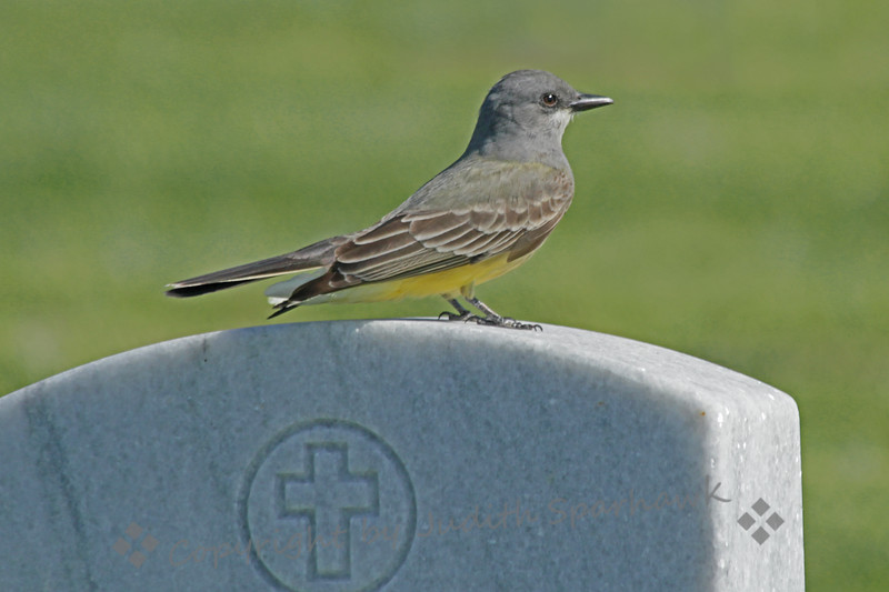 Cassin's Kingbird ~ While birding in San Diego this weekend, I stopped at Fort Rosecrans National Cemetery.  Among other birds, this Cassin's Kingbird perched for his portrait.
