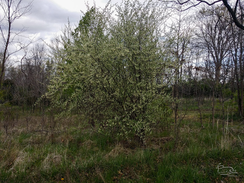 Happy invasive.  This Russian Olive seems to be quite happy here.  Too bad it doesn't play well with the natives.