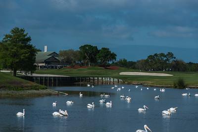 White Pelicans Laurel Oak
