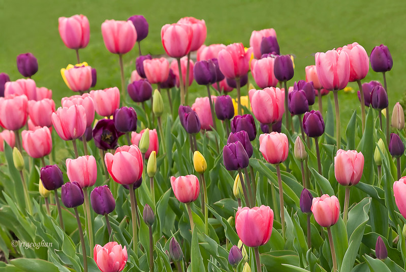 April 20_Tulip GardenHP_1909.jpg