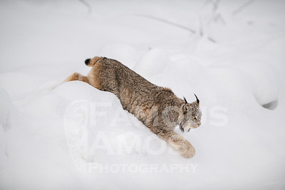 Canadian Lynx 2019