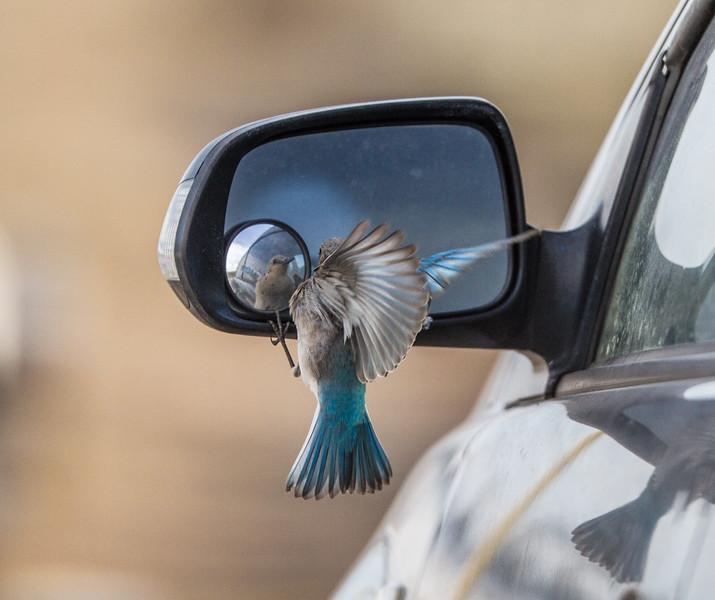Mountain Bluebird fighting reflection in car mirror Yellowstone National Park WY IMG_7093.jpg