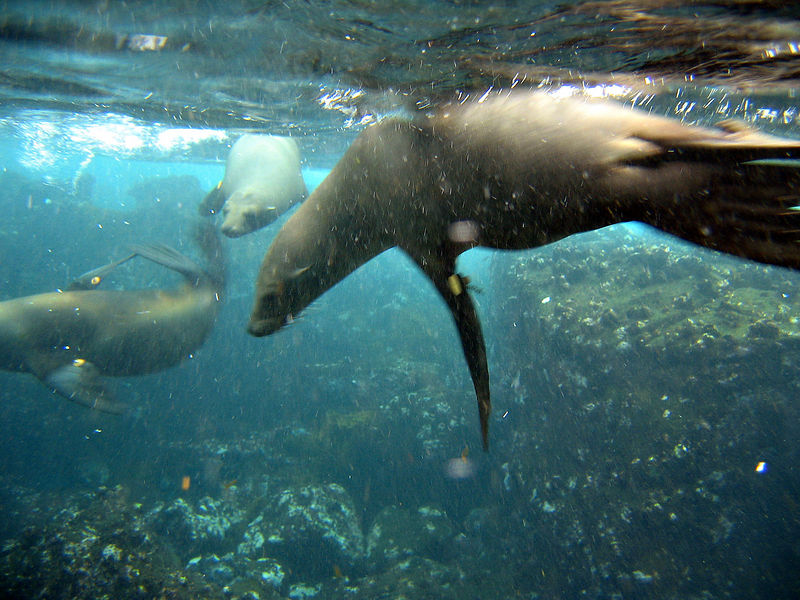 Sea lions underwater