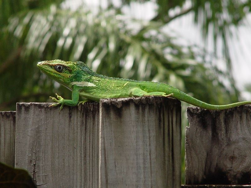 Knight Anole (Anolis equestris)  (October 1, 2005)