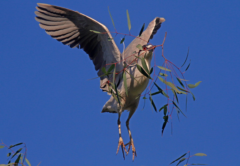 Black Crowned Night Heron with nesting material ,  Ninth Street Rookery